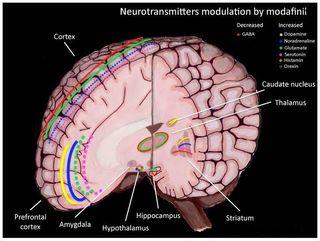 Modafinil Action Mechanism